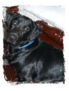 Sitting still for a picture, Silver Factored Black Lab