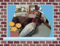 Chocolate Labrador sleeping in bed