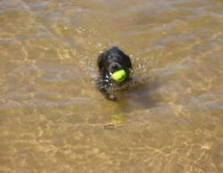 Charcoal Labrador Puppy Retrieving In Water