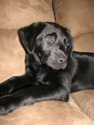 Black Labrador Puppy Chillin on the couch