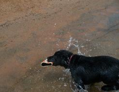 Labradors Love The Water
