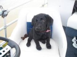 Time to take the boat out - Black Lab Puppy
