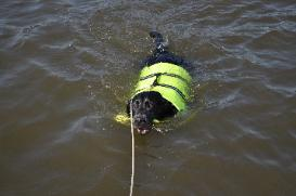 Charcoal Labrador - Water Retrieving